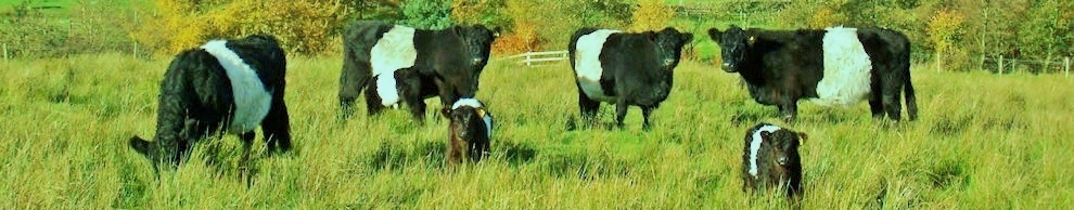 Belties grazing
