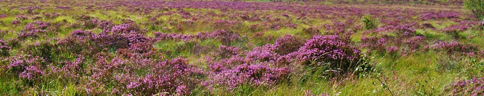 Heather in bloom on the moor